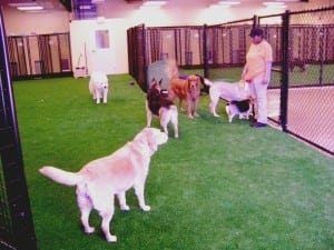 dogs playing in indoor pet area with artificial grass
